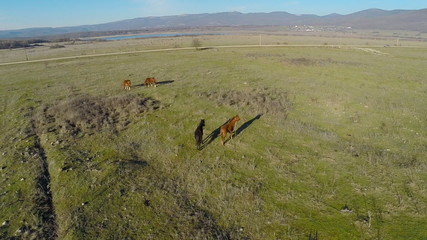 Horses grazing in the meadow with the copter