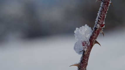 Frozen rose thorn in winter
