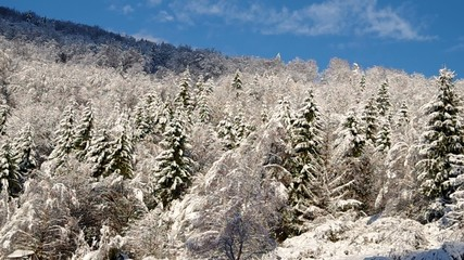 Forest covered with snow and blue sky in winter