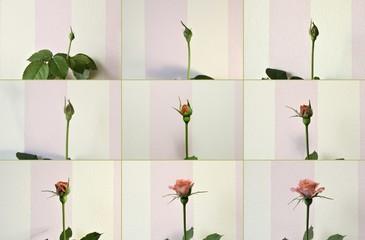 Set of photos of growing of a  pink rose.