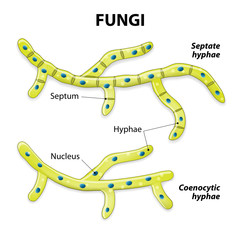Fungi. Classification based on cell division