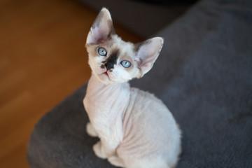 Cute devon rex baby kitten