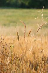 Grain field in summer