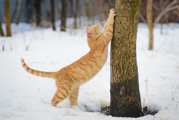 Ginger cat stretches in winter