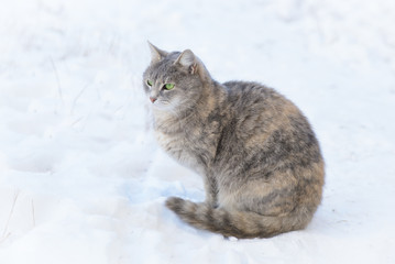 A Cat Walks in the Snow in Winter
