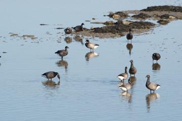 Brent gooses in wadden sea