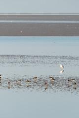 Eurasian oystercatchers