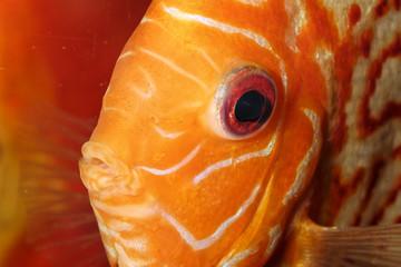 Discus fish portrait