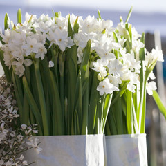 Beautiful white daffodils. Narcissus.