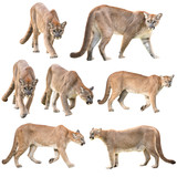 puma or cougar isolated