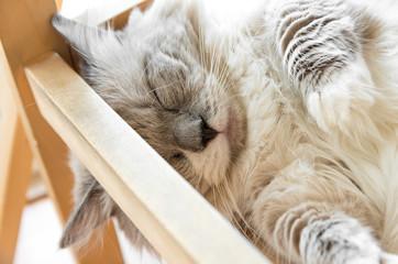 熟睡する家猫 グレー