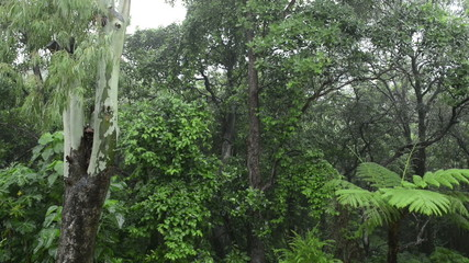 Lush green forest  with heavy rain falling on the trees and fern