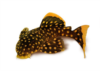 golden nugget pleco catfish Plecostomus Baryancistrus