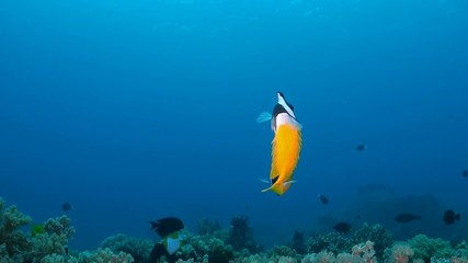 Coral reef with Foxface rabbitfish