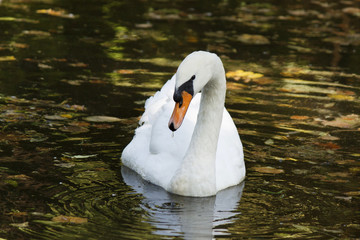 white swan floating on a pond