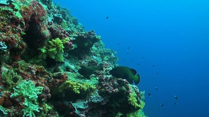Peacock Grouper on a sloping reef. Cephalopholis argus