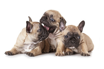 One month old French bulldog puppies