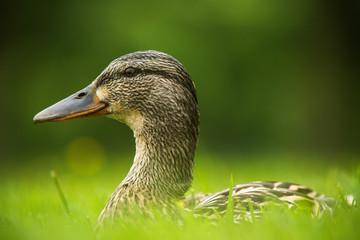 European duck on a grass