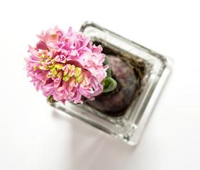 Flowering Pink hyacinthus