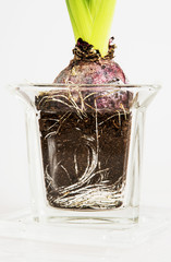 Pink hyacinthus in the glass flowerpot