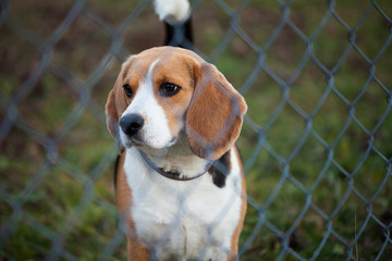 Young beagle in the garden.