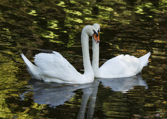 two white swans floating in a pond