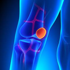 Patella Anatomy Knee Bone with Ciculatory System