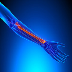 Radius Anatomy Bone with Ciculatory System