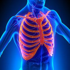 Rib Cage Anatomy Bones with Circulatory System