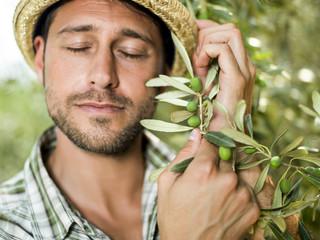 farmer is harvesting olives