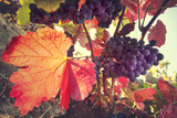 Vineyard, harvesting time