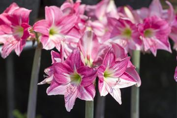 Pink Amarylis Flower