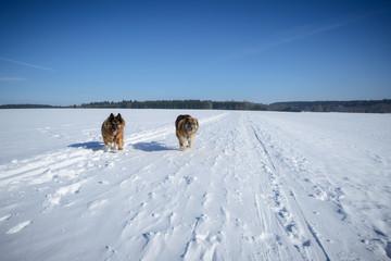 Aktive Schäferhundmischlinge im Schnee