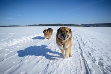 Rennende Hunde im Schnee