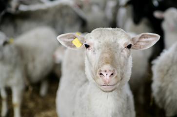 Sheep at homestead staring at viewer