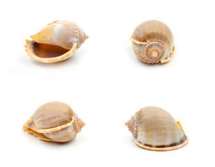 Yellow Sea shells on white background
