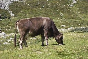 Brown cow eating the grass