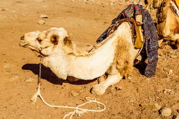 Cute single-humped camel in  desert