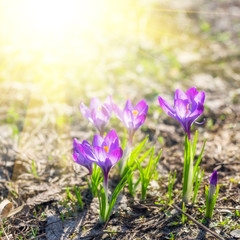 Beautiful violet crocuses