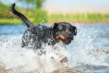 Rottweiler dog running in the water