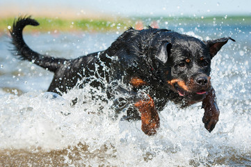 Rottweiler dog jumping in the water