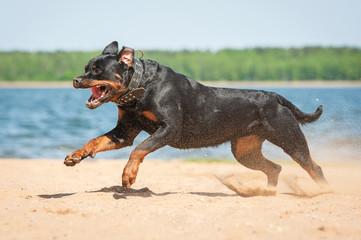 Rottweiler dog running on the beach