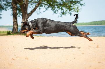 Rottweiler dog jumping on the beach