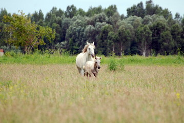 adult Mare is grazing with his colt on the field in Siberia