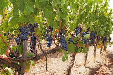 Bunches of ripe red grapes, ready to be harvested