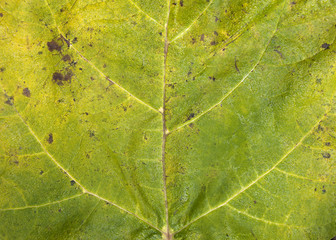 Autumn Catalpa leaf backgrounds