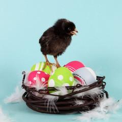 Chicken on Easter Eggs in Nest