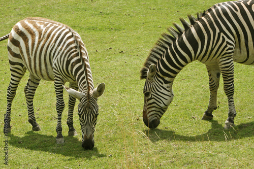 Poster Ezel Zebra 3