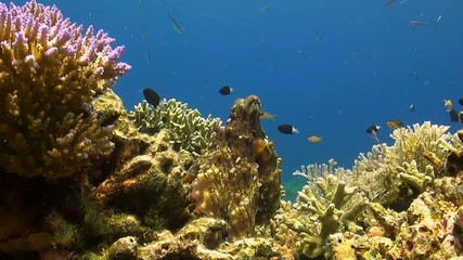 Octopus on a coral reef with Damselfish, Fusilier and Anthias