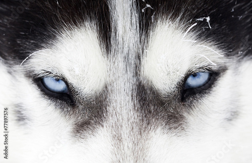 Foto op Canvas Wolf Close-up shot of husky dog blue eyes